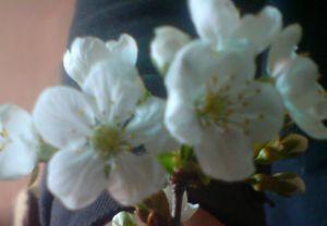 Flori de Vişin
